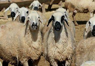 '300 koyun projesi'nde başvurular başladı, kriterler ne?