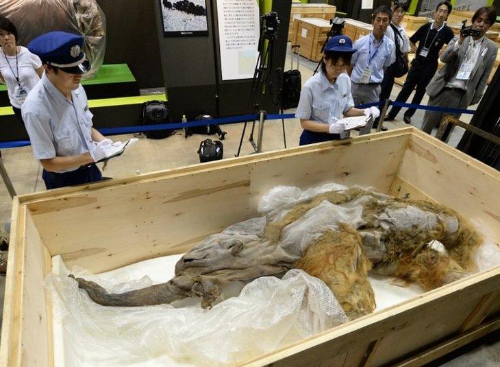 Mammoths found in ice