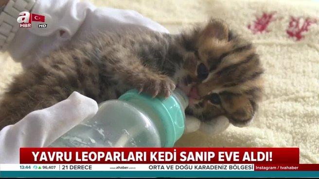 Yavru leoparları kedi sanıp eve getirdi