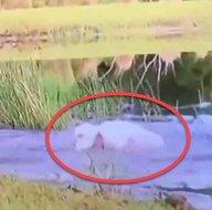 Timsah 3 aylık köpeği kapıp göle girdi! Sahibi arkasından atlayıp timsahla böyle boğuştu