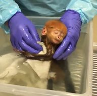 Dünyanın en nadir türlerinden! Yaşama gözlerini açan sevimli yaprak maymunu