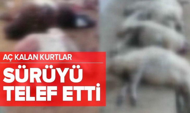 AÇ KALAN KURTLAR 30 KOYUNU TELEF ETTİ