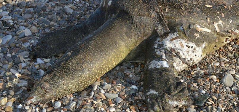 Ölü Nil kaplumbağası sahile vurdu! Boyutu herkesi şaşırttı