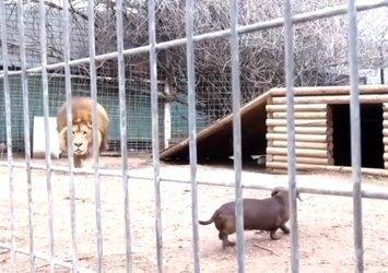 Hayvanat bahçesinde aslanın kafesine köpek bıraktılar! Kimse bu kadarını beklemiyordu