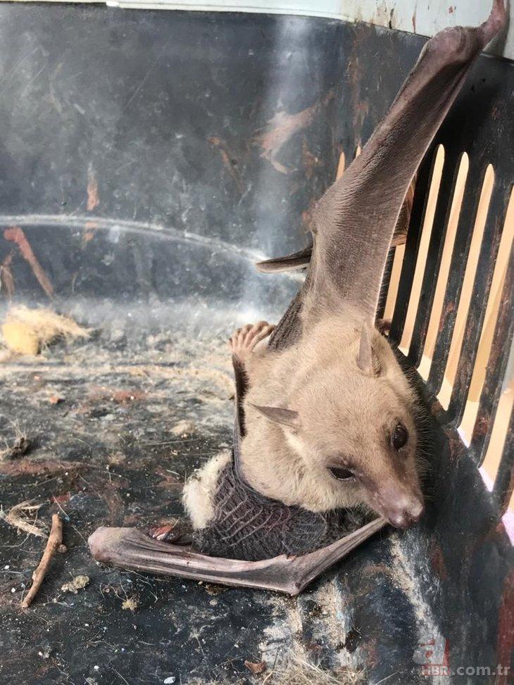 Tilki yavrusu sandılar! O ilde vampir yarasa paniği