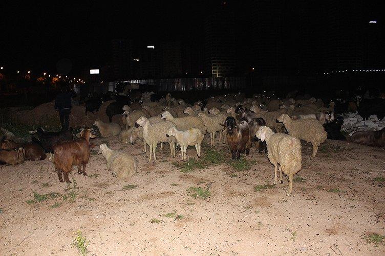 Çoban Uyuyunca Küçükbaş Hayvan Sürüsü Şehre İndi ile ilgili görsel sonucu