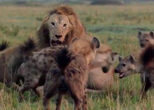 Sırtlanların arasında kalan aslan canlı canlı yem olacaktı! Son anda öyle şeyler oldu ki...