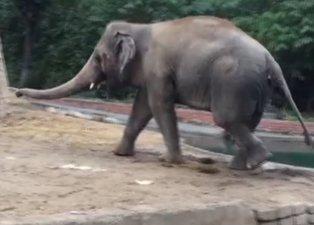 Partnerini kaybetmişti! Dünyanın en yalnız fili Kaavan...