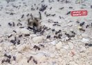 Karıncaların hareketliliği deprem habercisi mi? |Video
