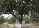 Mezardaki ağaçtan her yıl 600 kilo elma toplanıyor