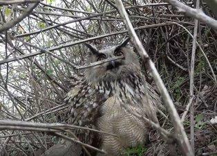 Son dakika: Bursa'da nadir görülen yırtıcı kuşu kurtarırken yaralandı! Pençesiyle...