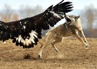 Kırgız Türklerinin yetiştirdiği kartalın kurt avı görenleri şoke etti
