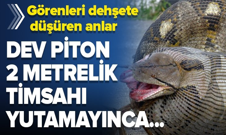DEV PİTON 2 METRELİK TİMSAHI YUTAMAYINCA...