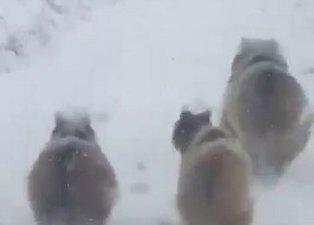 Kış uykusuna yatmayan ayılar şaşırttı