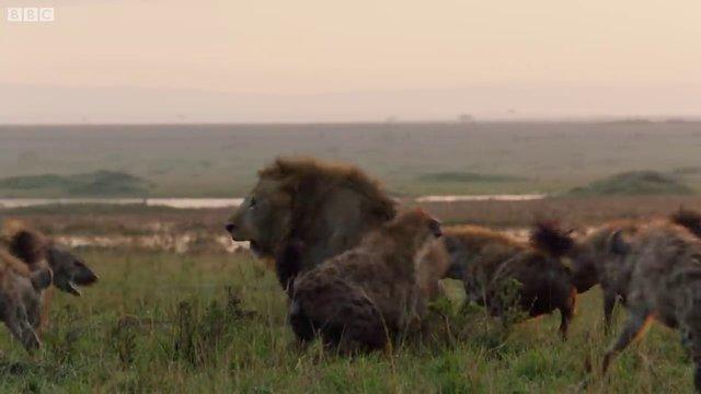 Sırtlanların arasında tek başına kalan aslanın mucize kurtuluşu! Son anda öyle şeyler oldu ki...