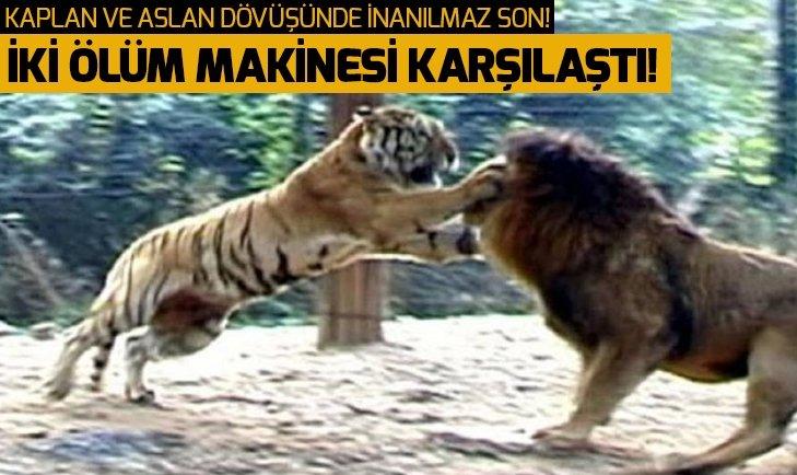 ASLAN VE KAPLANIN KARŞILAŞMASI NEFESLERİ KESTİ!
