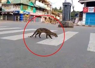 Koronavirüs nedeniyle sokağa çıkmak yasaklanmıştı! Sokakta yıllardır görülmeyen misk kedisi görüntülendi