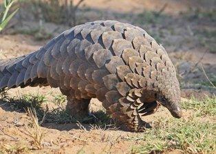Pangolin hayvanı hangi ülkelerde yaşıyor? Türkiye'de pangolin var mı? Koronavirüs pangolinden mi bulaştı?