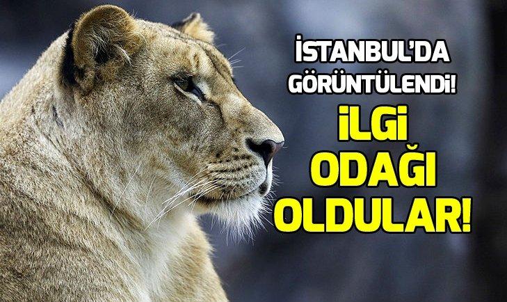 METROPOLÜN 'VAHŞİ KEDİLERİ'