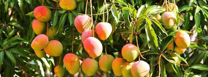 Mangonun faydaları nelerdir? Mango nasıl yenir?