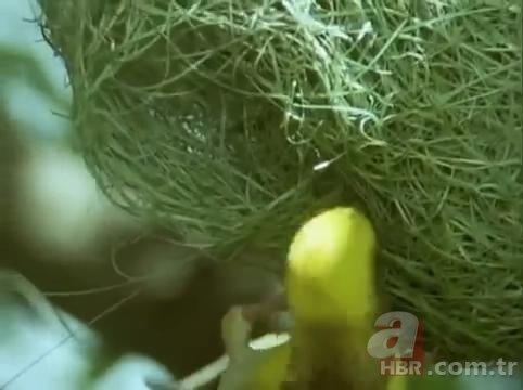 Mühendis gibi yaptı! Dokumacı kuşların yuvaları görenleri hayran bırakıyor