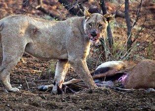 Aslan ve komodo ejderinin hamile avları! Biri dehşete düşürdü diğeri şoke etti