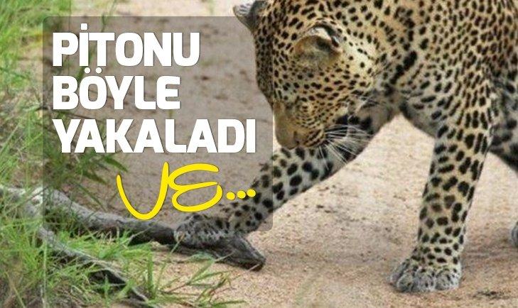 İKİ LEOPAR 2 METRELİK PİTONLA KARŞILAŞINCA...