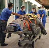 Yüzlerce kiloluk dev timsah tedavi edildi! Görüntüleri sosyal medyayı salladı