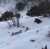 Köye inen ayıyı köpekler kovaladı