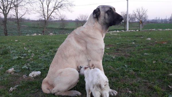 Annesi ölen keçiye köpek sahip çıktı ile ilgili görsel sonucu