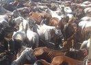 Adalar Belediyesi oy uğruna atları kendi gemisiyle taşıyıp ölüme sürükledi