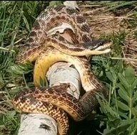 Bingölde devasa yılan görüldü! Korkmalarına rağmen...