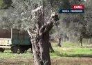 Muğlada ağaç katliamı! CHPli belediye 150 yıllık zeytin ağaçlarını katletti