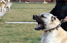 Kangal köpekleri Afrin'e gidiyor