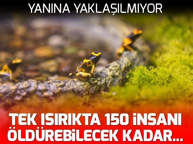 Tek ısırıkta 150 insanı öldürebilecek kadar zehir üretebiliyor!