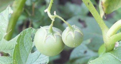 Bilecik'te görülmemiş olay! Patates ektiler domates çıktı