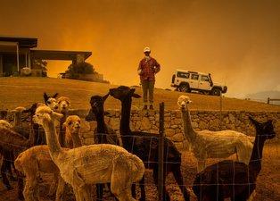 5 bin deveyi tüfekle öldürüp kana doymadılar! Avustralya katliama devam edecek