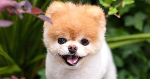 Minik köpek Boo ölümüyle 17 milyonu yasa boğdu