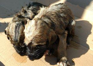 Yavru köpekleri çuvala koyup kuyuya attılar! Sadece biri hayata tutundu...