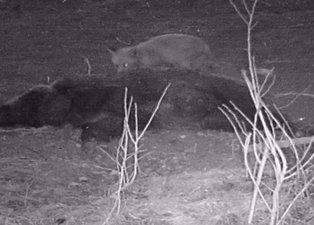 Tilki telef olan domuzla karnını doyurdu