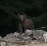 Son dakika: Yiyecek bulamayınca günlerdir kapıya kadar geliyor! Bölge halkını tedirgin eden hayvan böyle görüntülendi