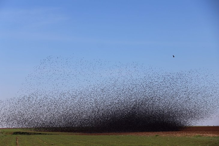 Mardin'de tarlalara akın eden kuşlar gökyüzünü kapattı