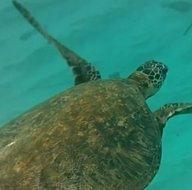 Bilim dünyasından önemli keşif! Navigasyonlu deniz kaplumbağaları