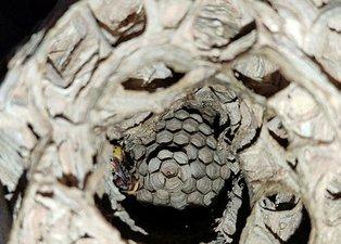 Rize'de evin içinde dev yaban arısı yuvası! Ev sahibi sergilenmesini istiyor