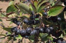 'Süper meyve' tarıma kazandırıldı
