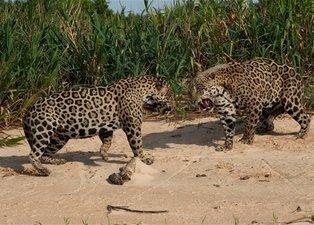 İki jaguarın inanılmaz karşılaşması! Sosyal medyayı sallayan görüntüler!