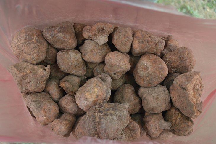 Afyonkarahisar'da vatandaşlar domalan mantarlarını toprak altında define gibi aranıyor