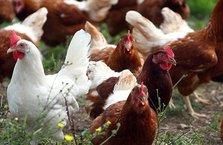 Fransa açık hava tavuk yumurtacılığına geçiyor
