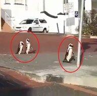 Koronavirüs nedeniyle boşalan sokaklarda penguenler geziyor