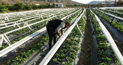 Adana'da şehir hayatından kaçıp çilek bahçesi kurdu! Siparişlere yetişemiyorlar